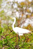 Bird, great white egret in breeding plumage in Florida Royalty Free Stock Images