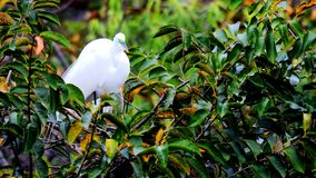 Bird, great white egret in breeding plumage in nest Royalty Free Stock Photos