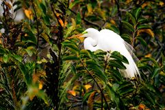 Bird, great white egret in breeding plumage in nest Stock Photo