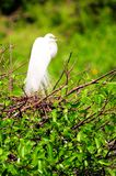 Bird, great white egret in breeding plumage in wetland Royalty Free Stock Photography