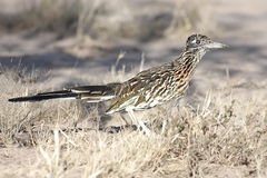 Bird - Greater Roadrunner. (Geococcyx californianus) in the desert stock photos