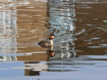 The bird grebe floats on the channel. royalty free stock photos