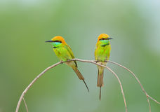 Bird (Green Bee-eater) , Thailand Royalty Free Stock Image