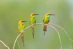 Bird (Green Bee-eater) , Thailand Royalty Free Stock Images