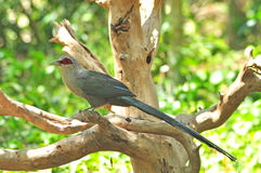 Bird (Green-billed Malkoha, Phaenicophaeus tristis Royalty Free Stock Photos