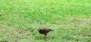 Bird on green grass. A Bird on green grass Royalty Free Stock Photos
