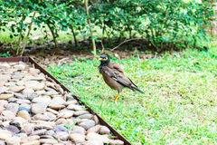 Bird on green grass. A Bird on green grass Royalty Free Stock Photography