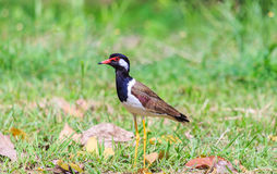 A bird on the green grass field. A wild bird, red wattled lapwing, standing on green grass field Stock Image