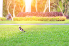 Bird on green grass at park with blur nature garden. Stock Photos