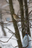 The bird a greenfinch  female sits on  mountain ash branch against the background of the falling snowflakes Stock Photo