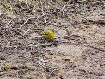 Bird greenfinch Stock Photo