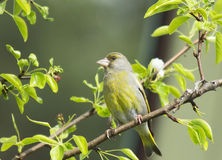 Bird Greenfinch (lat. Carduelis chloris) Royalty Free Stock Image