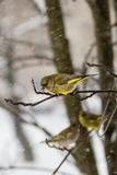 The bird a greenfinch  male sits on  mountain ash branch against the background of the falling snowflakes. The bird a greenfinch a male sits on a mountain ash Royalty Free Stock Photography