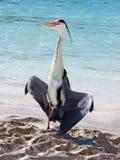 Bird : Grey Heron. This big Grey Heron likes the sun of a beautiful maldivian sky Stock Photos