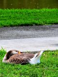 Bird, Greylag or Graylag goose, Florida Stock Photo
