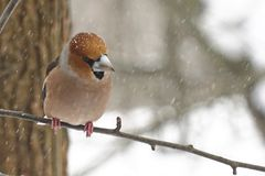 Bird grosbeak sits on a branch in winter in snowy weather stock photos