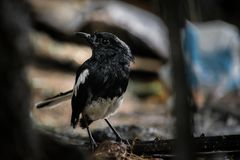 oriental magpie-robin royalty free stock images