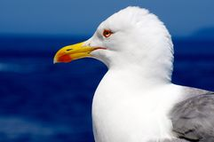 Bird, Gull, Beak, Seabird Royalty Free Stock Photos