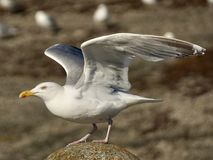 Bird, Gull, European Herring Gull, Seabird royalty free stock photography