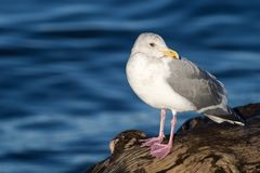Bird, Gull, Seabird, Beak royalty free stock photos