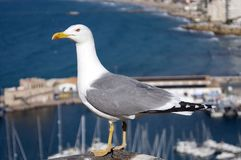 Bird, Gull, Seabird, Beak royalty free stock photography