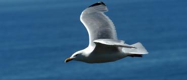 Bird, Gull, Seabird, Beak royalty free stock photography