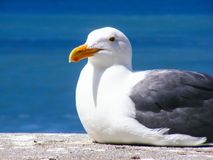 Bird, Gull, Seabird, Beak Stock Photo