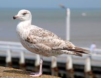 Bird, Gull, Seabird, European Herring Gull royalty free stock photo