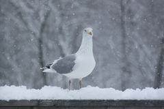 Bird, Gull, Seabird, European Herring Gull stock photography