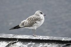 Bird, Gull, Seabird, European Herring Gull royalty free stock photography