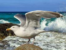 Bird, Gull, Seabird, European Herring Gull stock images