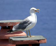 Bird, Gull, Seabird, European Herring Gull royalty free stock images