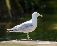 Bird, Gull, Seabird, European Herring Gull stock photo