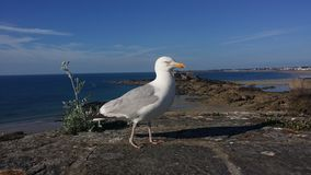 Bird, Gull, Seabird, European Herring Gull stock photos