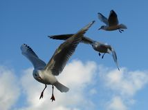 Bird, Gull, Sky, Seabird Royalty Free Stock Images