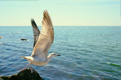 Bird gull on takeoff from a cliff. On the background of the sea stock image
