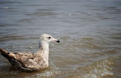 Bird. A gull in the water taking a break Royalty Free Stock Photos