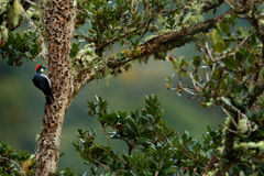 Bird in habitat, tropic mountain forest. Woodpecker from Costa Rica mountain forest, Acorn Woodpecker, Melanerpes formicivorus. Be Royalty Free Stock Image