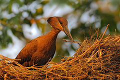 Bird Hamerkop, Scopus umbretta, in the nest. Bird building nest with branch in the bill. Beautiful evening sun. Animal nesting beh Stock Image