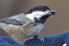 A Bird in the Hand 03. Chickadee eating seeds from hand Stock Images