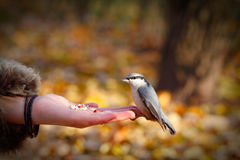 Bird on the hand Stock Photography