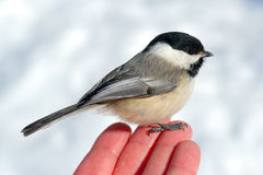 Bird in the Hand 2. Black-capped Chickadee (Poecile atricapillus) perched on man's fingertips, with snow in background Stock Images