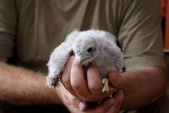 A bird in the hand Stock Photos