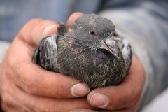 Bird in Hand. Baby pigeon cradled in a man's gentle but rugged and weathered hands Stock Photos