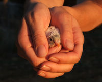 Bird in hand Royalty Free Stock Image