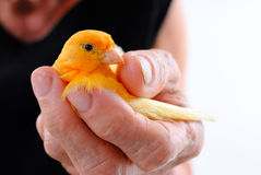 Bird in the Hand Stock Photography