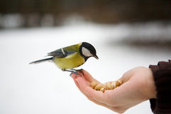 Bird on a hand. Royalty Free Stock Photography