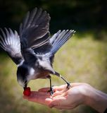 Bird in hand Stock Photography