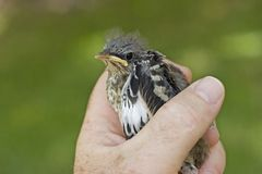 Bird in the hand ... kold. Young bird eing held in hand Royalty Free Stock Photography