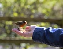 Bird in the Hand. Royalty Free Stock Photo